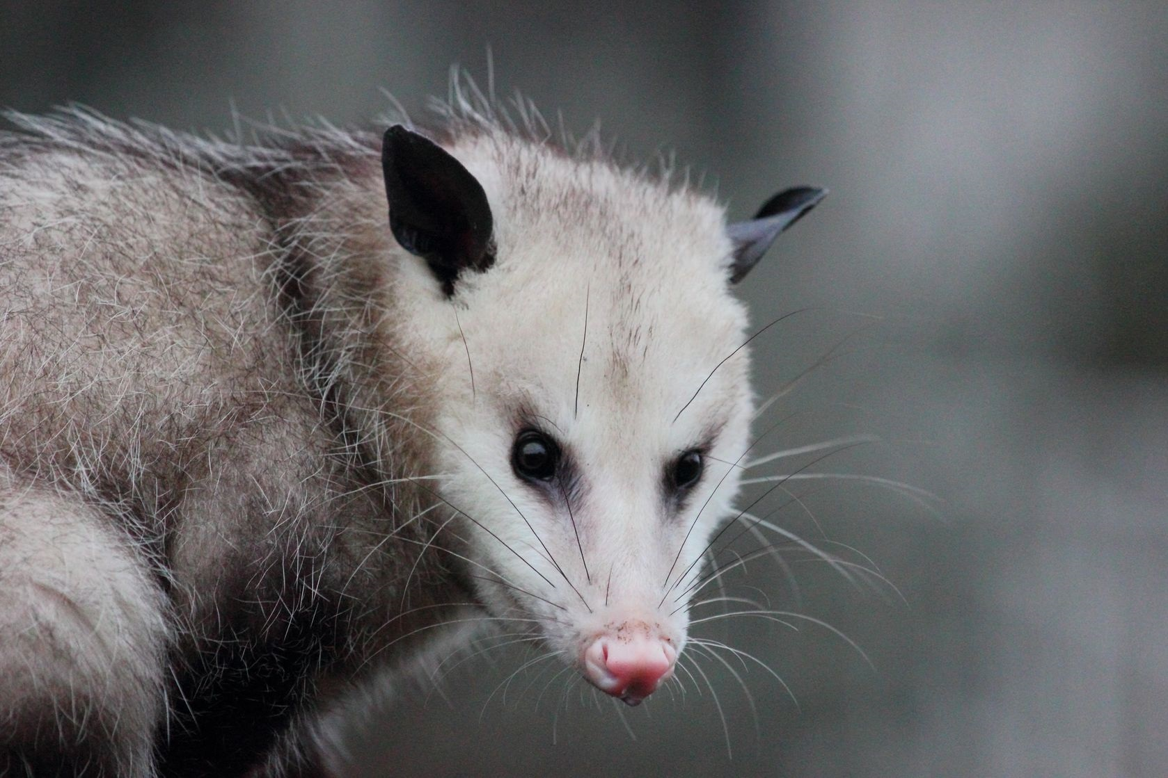 Is there an Organic Element to the Google 'Possum' [sic] 3-Pack Theory?